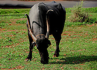 A slice of rural life in a village in India - a Bullock grazing in a meadow