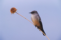 Say's Phoebe, Sayornis saya, adult, Bosque del Apache National Wildlife Refuge , New Mexico, USA, December 2003