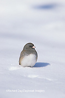 01569-00719 Dark-eyed Junco (Junco hyemalis) in winter, Marion Co.   IL