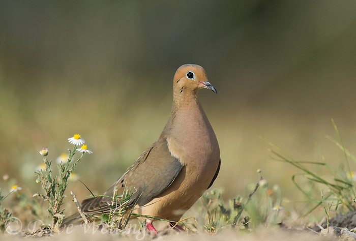 518180050 a wild mourning dove zenaida macroura sits among wildflowers on dos venadas ranch in starr county rio grande valley texas united states