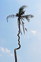 Cork-screwed coconut tree, Sumatra, Indonesia