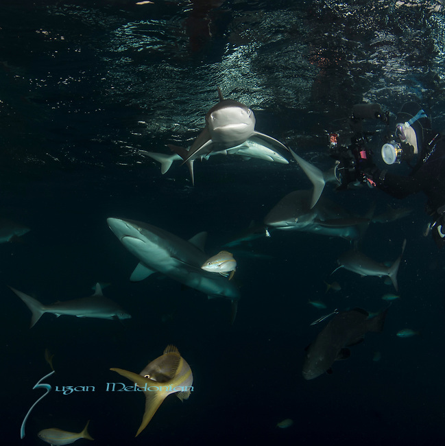 Cuba Underwater, Jardines de la Reina, Protected Marine park underwater, Sharks, Silke Sharks with Carolyn Wang, diver with sharks