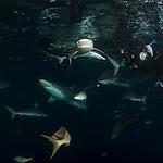 Cuba Underwater, Jardines de la Reina, Protected Marine park underwater, Sharks, Silke Sharks with Carolyn Wang, diver with sharks