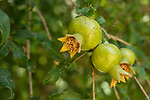 Pomegranate fruit, Punica granatum, on a tree in Jericho, Occupied Territory of the West Bank of the State of Palestine.