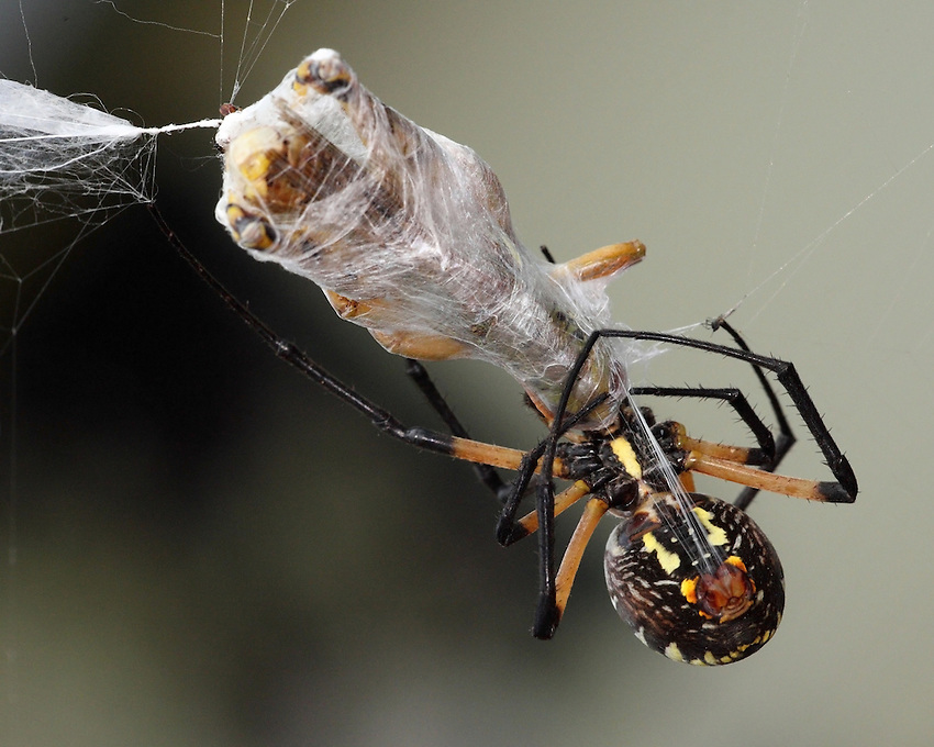 Garden spider wrapping its hapless hopper prey.