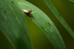 Stink Bug (Pentatomidae), Metropolitan Natural Park, Panama City, Panama