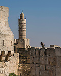 A Hooded Crow, Corvus cornix, perches on the rampart wall of the Old City of Jerusalem.   Behind is the minaret known as the Tower of David, in the Citadel in the Armenian Quarter.  The Old City of Jerusalem and its Walls is a UNESCO World Heritage Site