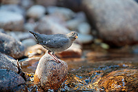 American Dipper (Cinclus mexicanus unicolor) feeding along a stream in Lyons, Colorado.