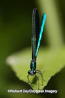 06014-001.20 Ebony Jewelwing (Calopteryx maculata) male, Lawrence Co. IL