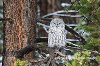 01128-00115 Great Gray Owl (Strix nebulosa) Yellowstone National Park, WY