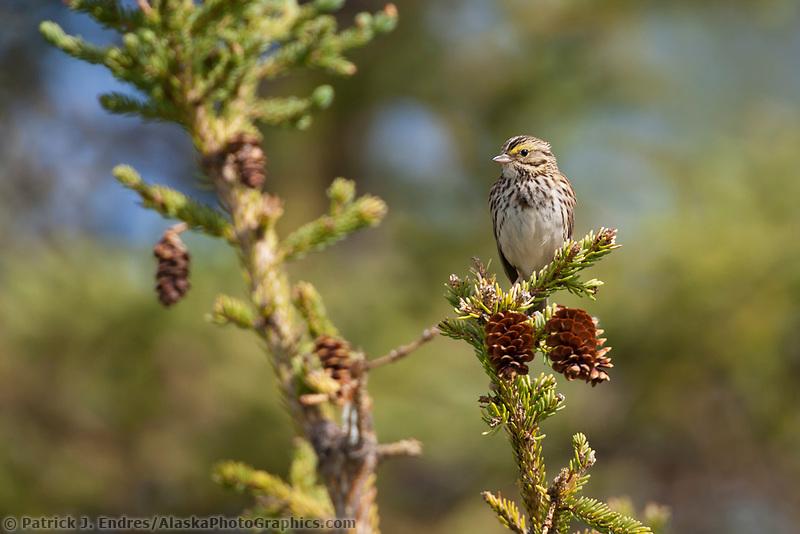 Savannah sparrow, Katmai National Park, southwest, Alaska.