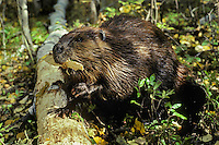 Beaver eating small strip of aspen tree bark.
