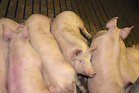 Indoor fattener pigs on slatts.