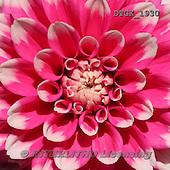 Gisela, FLOWERS, BLUMEN, FLORES, photos+++++,DTGK1930,#f#