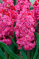 Double flowered Hyacinth 'Hollyhock' in red pink bloom