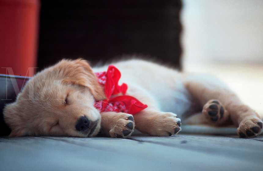 Sleeping golden retriever puppy.