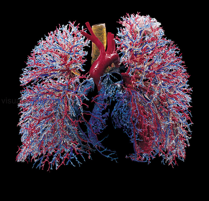 Resin cast of the human lungs showing the bronchi and bronchioles (yellowish), airways (white), arteries (red), and veins (blue). Note the heart situated between the lungs. The lungs take in around 0.5 liters of air in every breath, with around 12 breaths per minute at rest. The lungs have a large network of airways, which gives them a huge surface area for oxygen to diffuse into the blood and carbon dioxide to diffuse out.