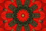 Red Poinsettia floral mandala.