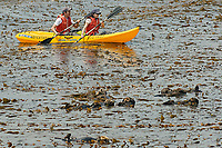 southern sea otter, enhydra lutris nereis, kayakers paddle by a raft of otters in the kelp, Monterey Bay National Marine Sanctuary, California, East Pacific Ocean