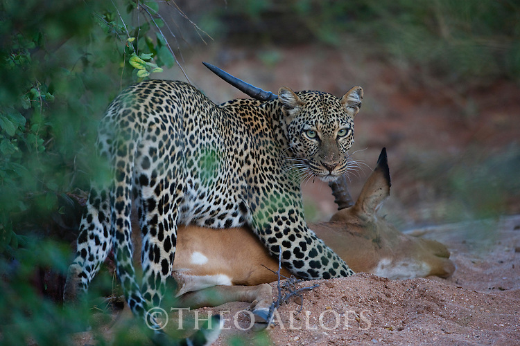 Kenya, Samburu, leopard on impala kill