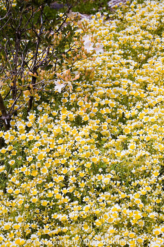 Yellow flowering wildflower Limnanthes douglasii, meadowfoam Menzies California native plant garden
