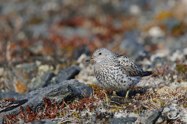 Adult Surfbird (Aphriza virgata) in breeding (alternate) plumage on its alpine breeding grounds. Seward Peninsula, Alaska. June.