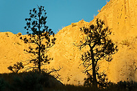 Ponderosa pine (Pinus ponderosa) trees and canyon wall at sunrise. Thompson Valley, Kamloops, British Columbia, Canada