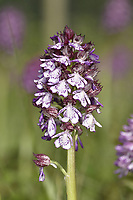 Lady Orchid - Orchid purpurea