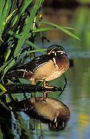 Wood Duck drake sleeping on log surrounded by yellow iris reeds.. British Columbia, Canada..(Aix sponsa).