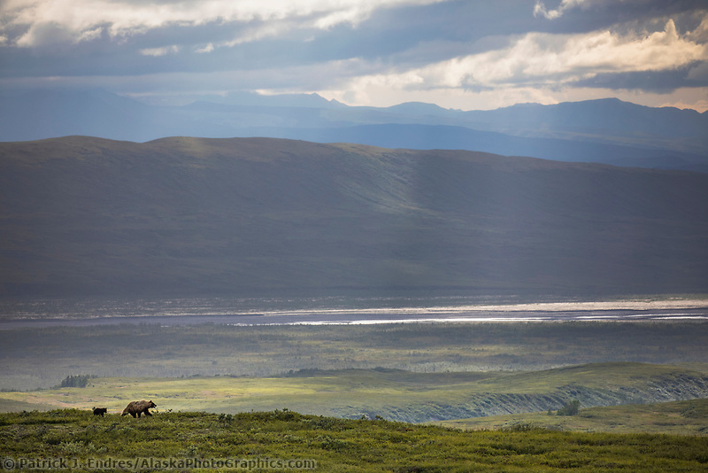 Sow grizzly walks across the green tundra overlooking the McKinley River Bar in Denali National Park, Alaska