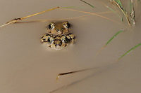 Couch's Spadefoot (Scaphiopus couchii), pair mating, Laredo, Webb County, South Texas, USA