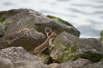 Young Stoat's (Mustela erminea) poke their head s above rocks along the north Wales coast line.
