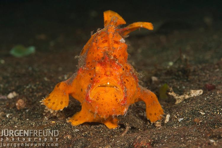 Frogfish (Antennarius sp.)
