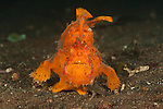 Frogfish (Antennarius sp.)