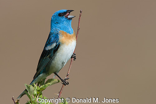 Lazuli Bunting (Passerina amoena) Male singing, western Montana.