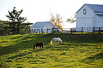 Horses Grazing in a Green Pasture in the Afternoon Sun in Walpole,  New Hampshire USA