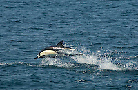 626950010 a wild common or short-nosed dolphin delphinus delphis jumps waves in the coastal pacific ocean near santa cruz island in channel islands national park off the coast of southern california