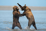 Bears face off in play-fight