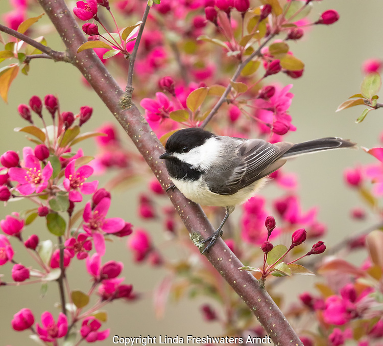 Black-capped Chickadee perched in a flowering crabapple tree