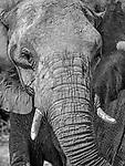 Elephant Portrait.