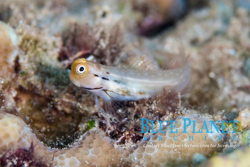 Yaeyama Blenny, Ecsenius yaeyamaensis, Mutiny Point dive site, near Perai village, Wetar Island, near Alor, Indonesia, Banda Sea, Pacific Ocean