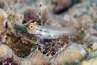 Yaeyama Blenny, Ecsenius yaeyamaensis, Mutiny Point dive site, near Perai village, Wetar Island, near Alor, Indonesia, Banda Sea, Pacific Ocean