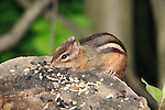 A Very Cute Eastern Chipmunk Dining On Bird Seed, Tamias striates, Southwestern Ohio, USA