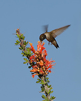Black-chinned Hummingbird, Bosque del Apache NWR, Visitor Center