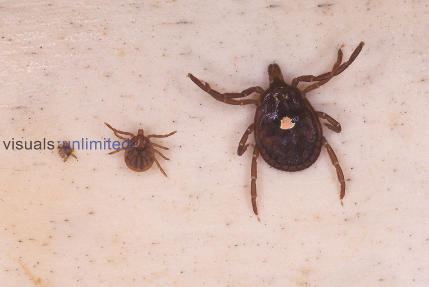 Six-legged larva (top-left), eight-legged nymph (bottom-left), and adult female (right) of the lone star tick, Amblyomma americanum, shown together for size comparison. All mobile stages of the tick life cycle. ...