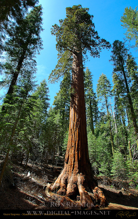 Giant Sequoia, Sequoiadendron giganteum, Mariposa Grove of Giant Sequoias, Yosemite National Park