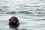 Sea Otter (Enhydra lutris) juvenile feeding on clam prey, Elkhorn Slough, Monterey Bay, California