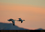 Snow Geese in Flight at Sunset, Blue Morph Adult and Juvenile, Bosque del Apache Wildlife Refuge, New Mexico
