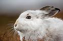Mountain Hare (Lepus timidus), Cairngorms National Park, Scotland. January.