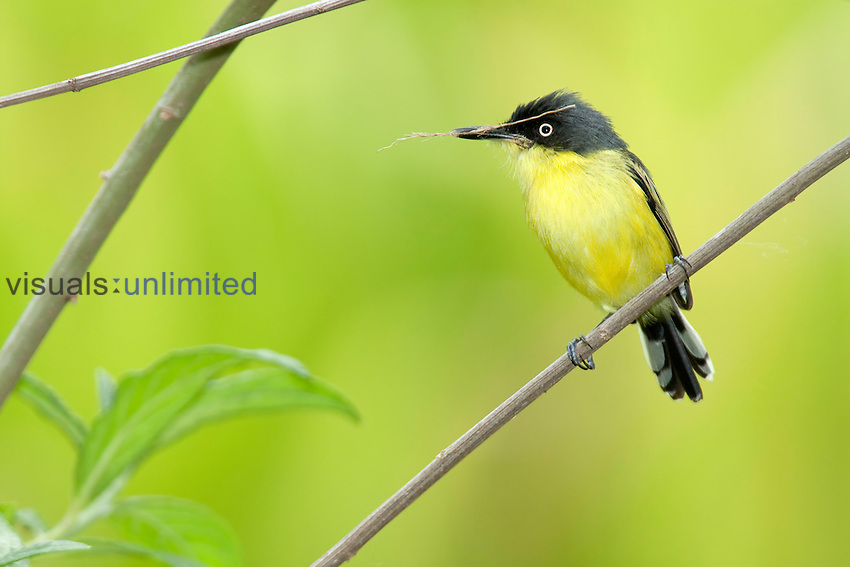 Common Tody-flycatcher (Todirostrum cinereum), Costa Rica.